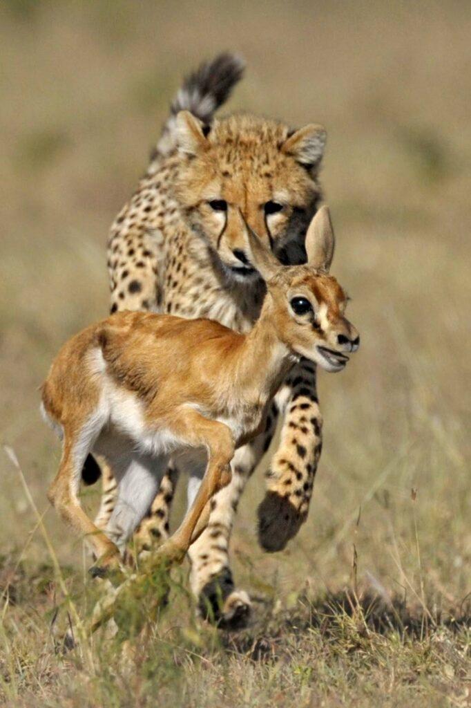 Тигр гонится за олененком