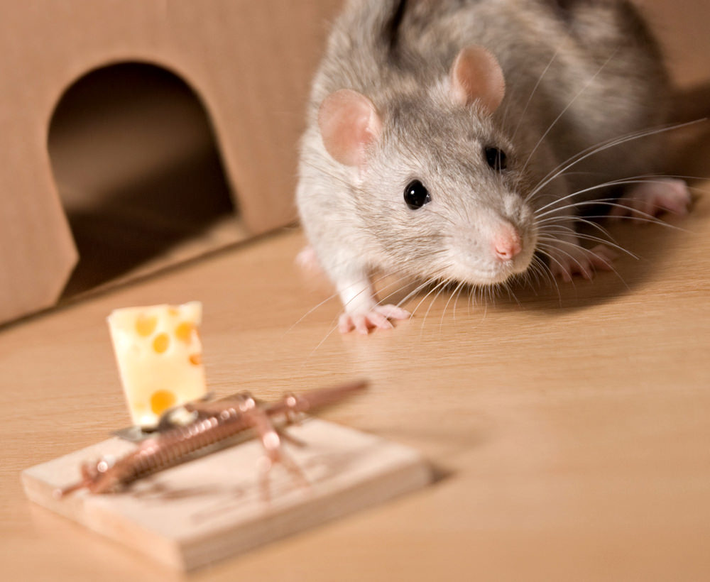 Gray rat, mousetrap and cheese