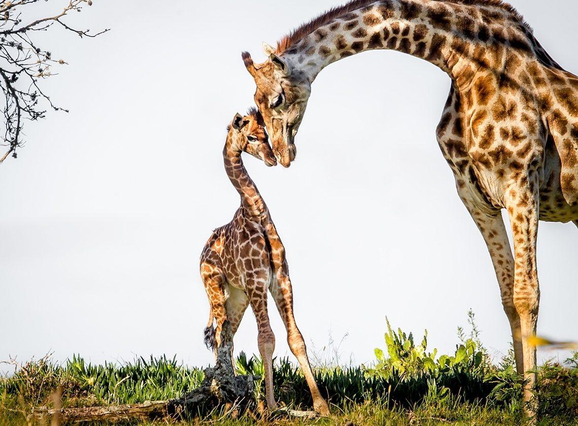 12 удивительных фактов о жирафах
